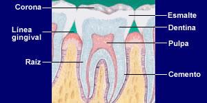Cules son las diferentes partes del diente
